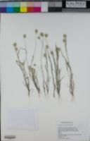 Eremopyrum triticeum image