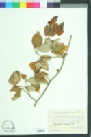 Cornus asperifolia image