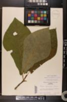 Image of Magnolia pyramidata