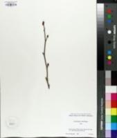 Image of Corylopsis veitchiana