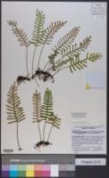 Pleopeltis polypodioides image