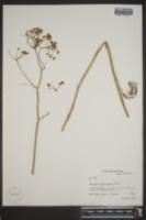 Perideridia americana image