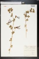 Lotus ornithopodioides image