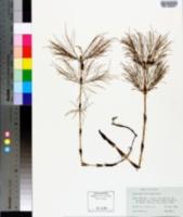 Equisetum sylvaticum image