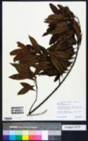 Myrica pubescens image
