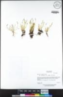 Myosurus apetalus var. montanus image