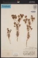 Cordylanthus eremicus image