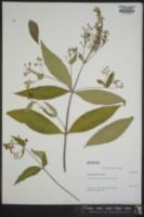 Lysimachia fraseri image