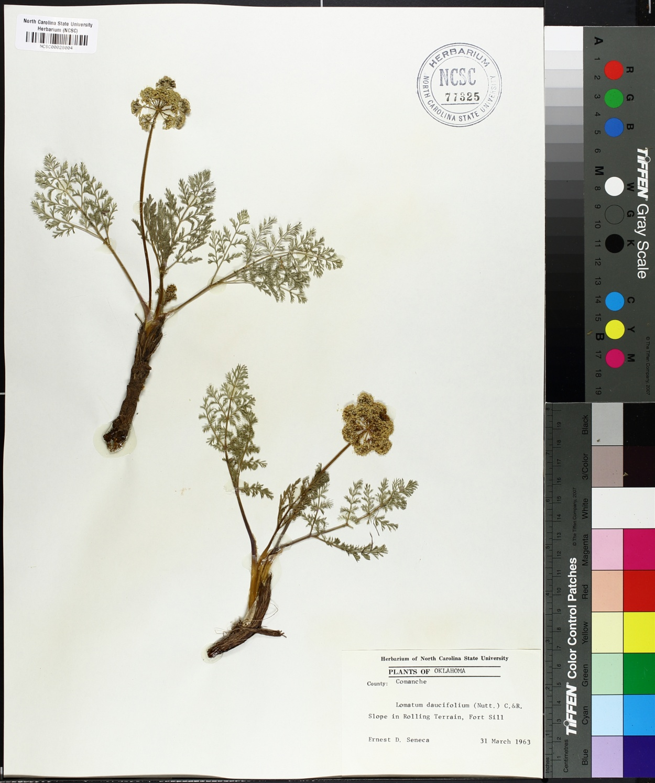 Lomatium daucifolium image