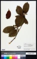 Image of Amaioua corymbosa