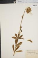 Image of Lilium catesbaei