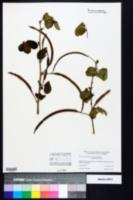 Senna obtusifolia image