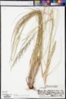 Deschampsia nubigena image