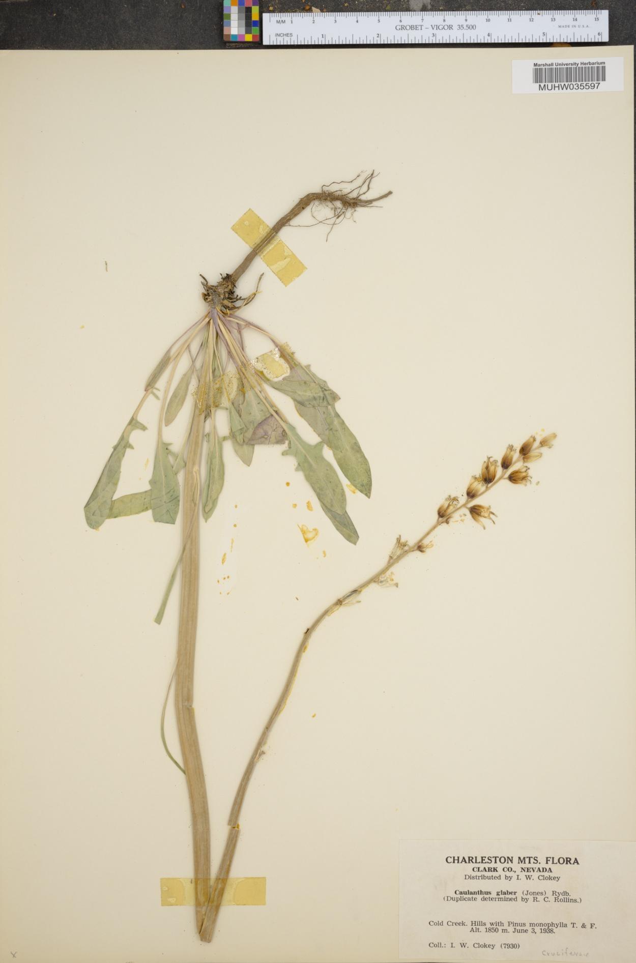 Caulanthus glaber image