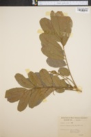 Image of Cupania glabra