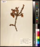 Image of Epacris longiflora