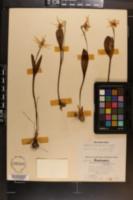 Image of Erythronium idahoense