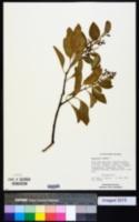 Image of Santalum album