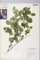 Symphoricarpos albus var. laevigatus image
