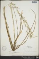 Aristida lanosa image