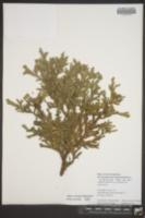 Image of Thujopsis dolabrata