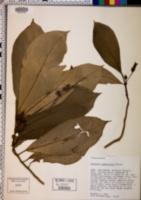 Image of Besleria membranacea