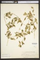 Image of Lantana canescens
