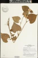 Houttuynia cordata image