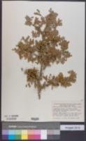 Ebenopsis ebano image