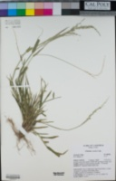 Ehrharta erecta image