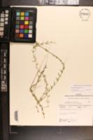 Metastelma blodgettii image