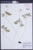 Anemone apennina image