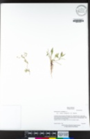 Ranunculus flammula var. ovalis image