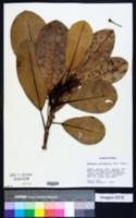 Image of Manilkara surinamensis
