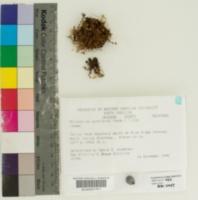 Image of Rhizomnium punctatum