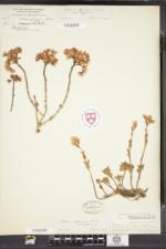 Sedum spurium image