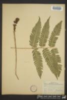 Dryopteris goldiana image