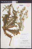 Hypochaeris chillensis image