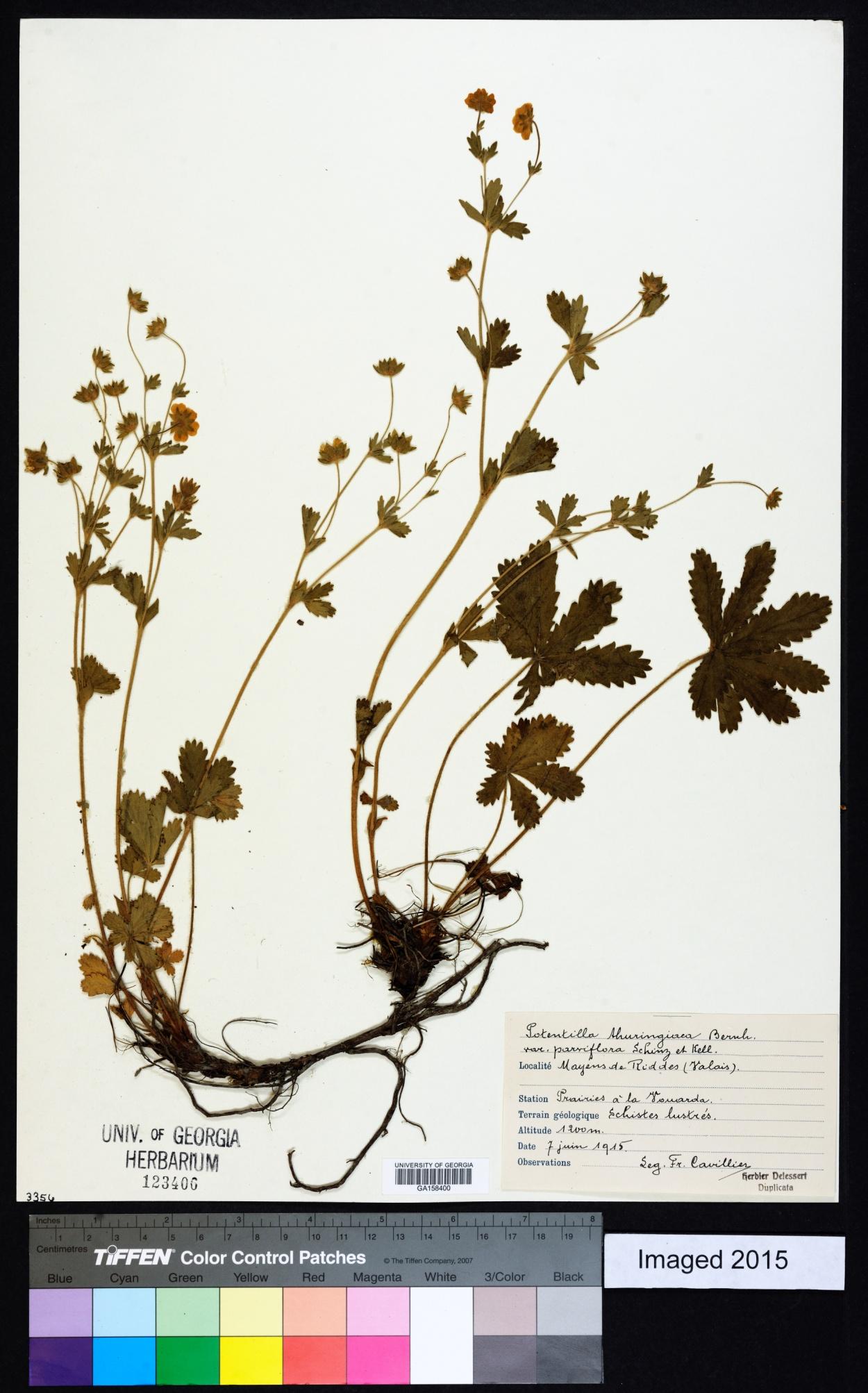 Potentilla thuringiaca image