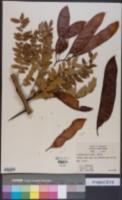 Image of Gleditsia × texana