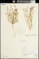 Eriastrum filifolium image