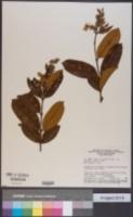 Qualea multiflora image