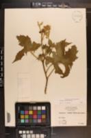 Cnidoscolus texanus image