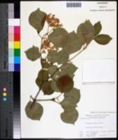 Viburnum dilatatum image
