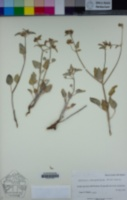 Image of Acleisanthes chenopodioides