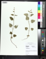 Image of Scutellaria saxatilis
