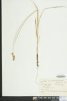 Carex laevivaginata image