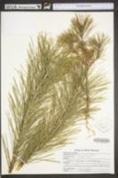 Pinus sylvestris image
