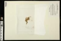 Callitriche peploides image