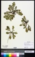 Glaucium corniculatum image